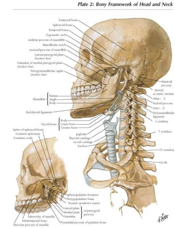 Cervical Spine Anatomy | Seattle Dizzy Group
