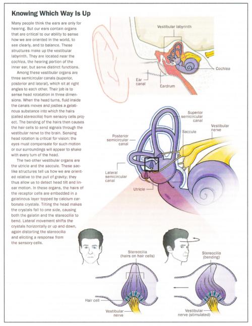 Otolith Organs
