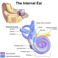 Vestibular System The Internal Ear